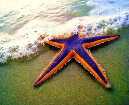 Amazing Pictures of Animals, Photo, Nature, Incredibel, Funny, Zoo, Starfish, Sea Stars, Asteroidea, Alex (16)