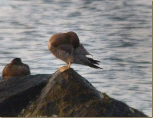 Brown Booby_007