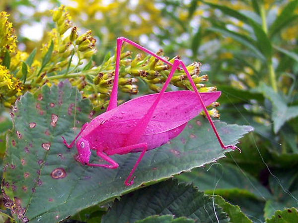 Pink Katydid unusual