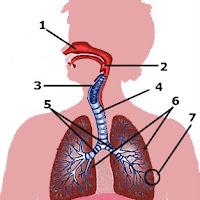 respiratorio.jpg