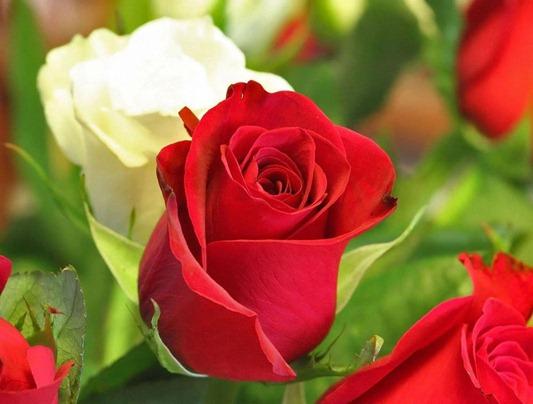 rosas-vermelhas-foto