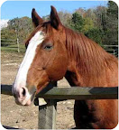 Charlie, from Washington, Connecticut. Charlie is an ex-jumper who has been retrained for trail riding.  He is affectionate and is already neutered. Charlie would do best to be adopted by an experienced rider. See link to his info at end of blog post.
