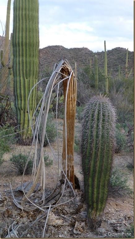 Saguaro NP West_054
