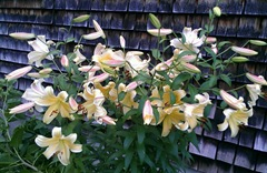 yellow lilies in front of house 7.2013