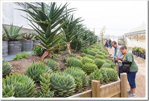 120929_SucculentGardens_Aloe-polyphylla_18