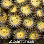Zoanthus-yellow.jpg