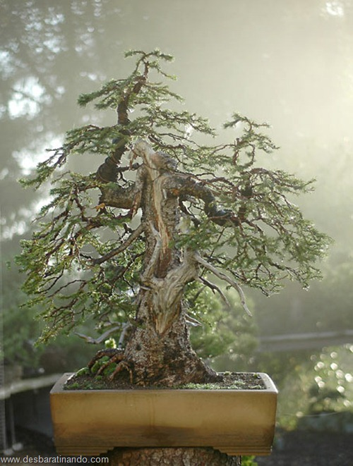bonsais arvores em miniatura desbaratinando (13)
