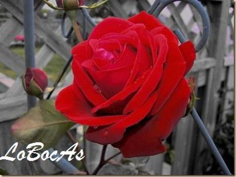 rosaroja-LoBocAs-03