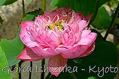 Glória Ishizaka - Flor de Lótus -  Kyoto Botanical Garden 2012 - 12