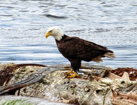 bald-eagle-on-a-log