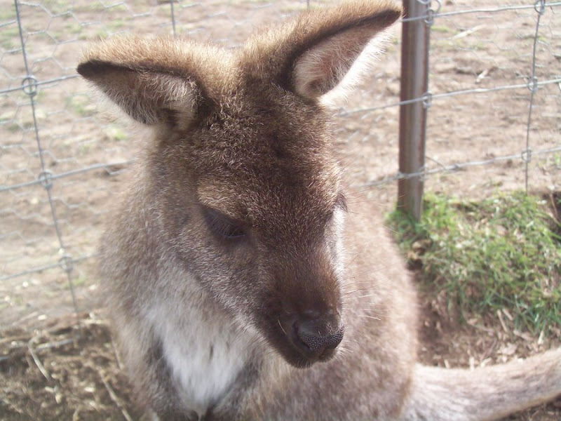 sad wallaby.jpeg