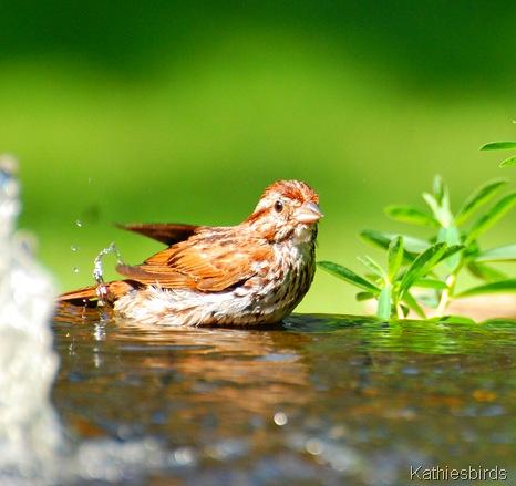 3. song sparrow-kab
