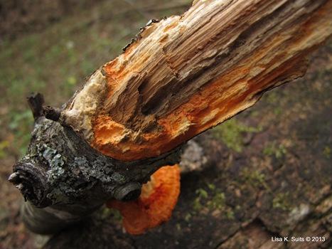 Pycnoporus cinnabarinus staining log