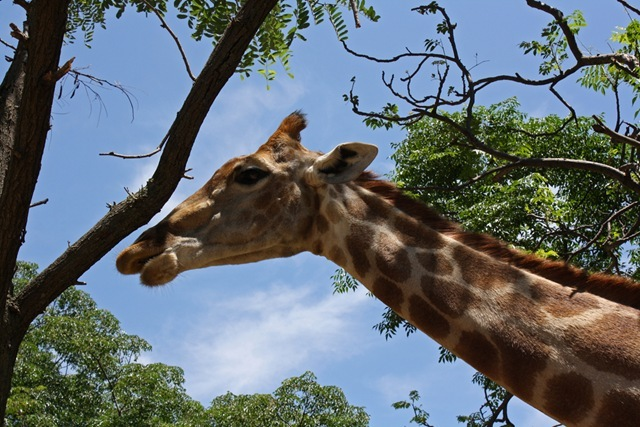 Blue sky and giraffe, Lion Park Johannesburg