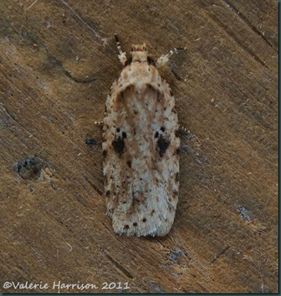 agonopterix-arenella (2)