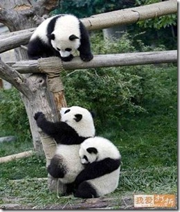 Three panda bears