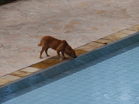 Caine care bea din piscina