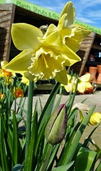 daff and tulip bud