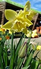 daff and tulip bud