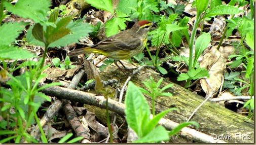 Palm Warbler (4)