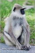 _P6A1664_grey_langur_monkey_mudumalai_bandipur_sanctuary