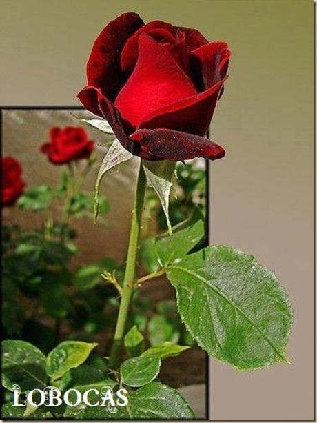 rosa-LoBocAs-5002