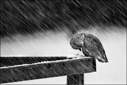Σπουργίτι_βροχή