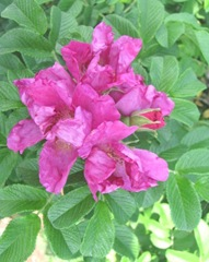 Cape Cod wild CC red rose
