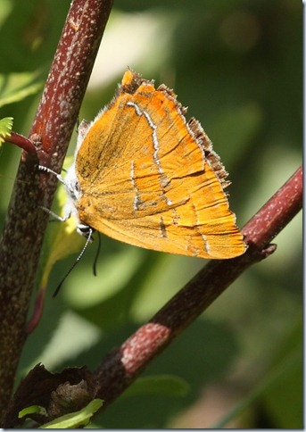 brown_hairstreak2