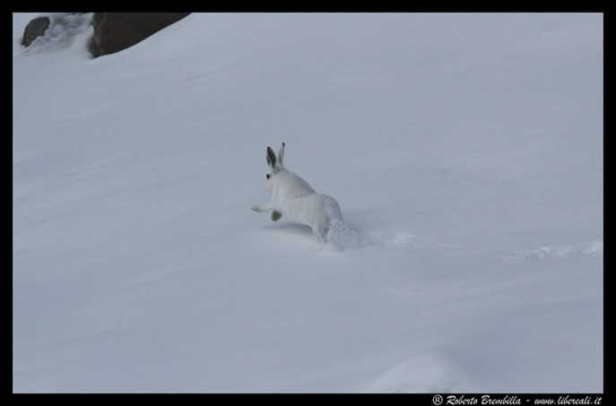 63_Lepre bianca (158)