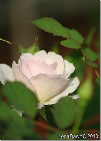 Rose_Morden_BLush
