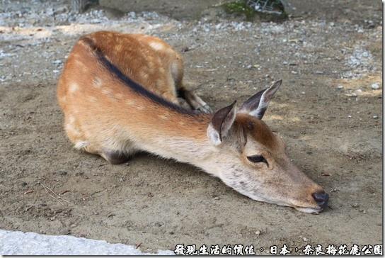 奈良梅花鹿公園,天氣好熱,我累了,你們不要吵我。