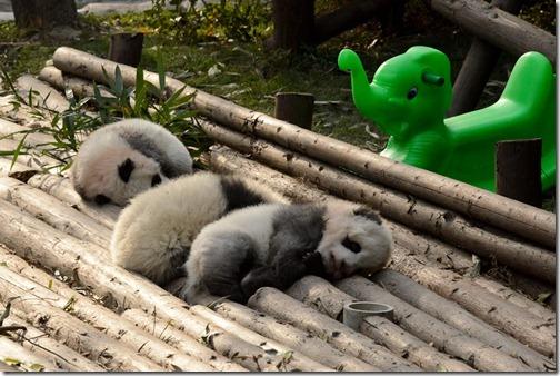 DSC_7163LR_Pandas