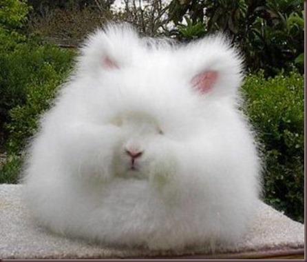 Amazing Animal Pictures Angora Rabbit (2)