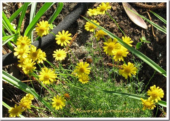 03-03-dahlburg-daisies