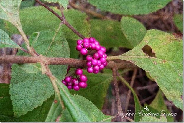 Beautyberry_kk_thursday
