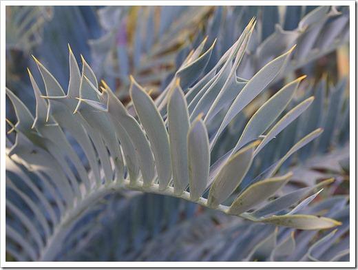 111228_UCBG_Encephalartos-trispinosus_07