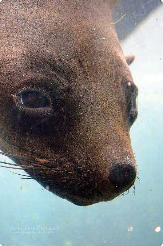 Wremen 29.07.14 Zoo am Meer Bremerhaven 28 Seebär