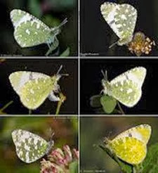 Amazing Pictures of Animals, Photo, Nature, Incredibel, Funny, Zoo, Euchloe tagis, Butterflies, Portuguese Dappled White, Alex (8)