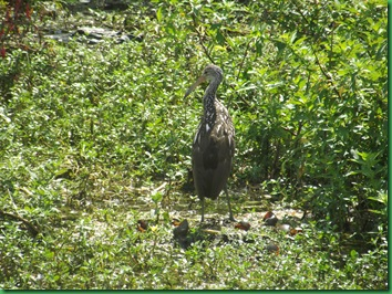 On the way across the bridge we saw a Limpkin  in the water