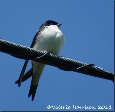 17 housemartin