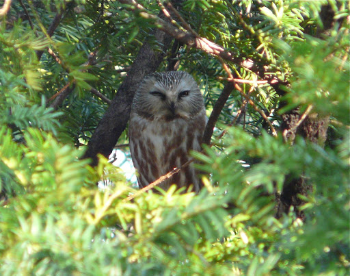 Lifer NORTHERN SAW-WHET OWL, 4/1/13, Central Park