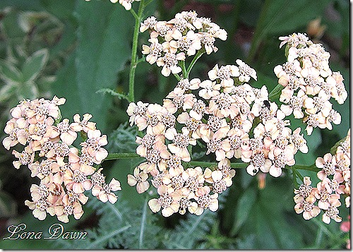 Achillea_ApricotDelight_July2