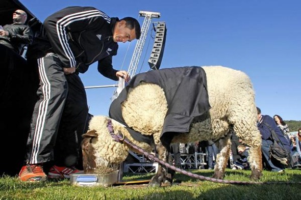 Sonny Wool, the psychic sheep who predicted the All Blacks would win the World Cup.