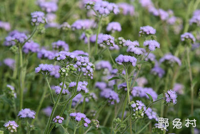 [臺南-花木] 美麗的紫色地毯-紫花藿香薊