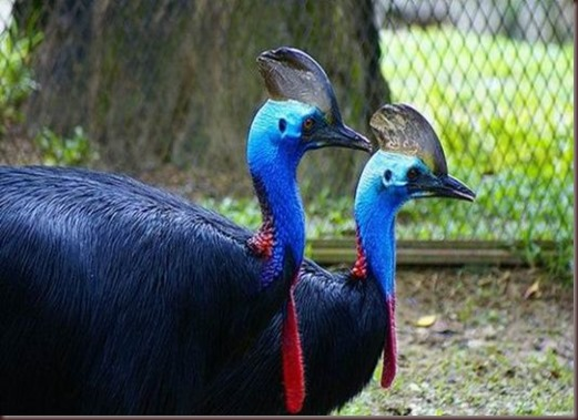 Amazing Animal Pictures The cassowary (3)