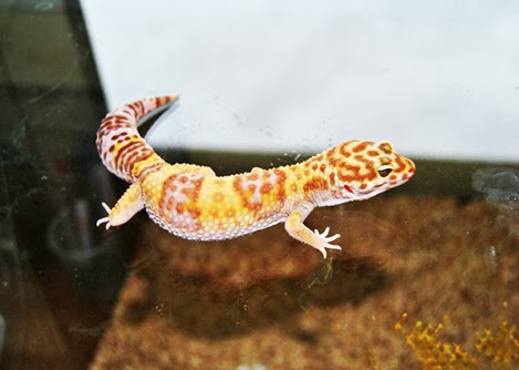 Amazing Pictures of Animals, Photo, Nature, Incredibel, Funny, Zoo, Eublepharis macularius, Leopard gecko, Alex (14)