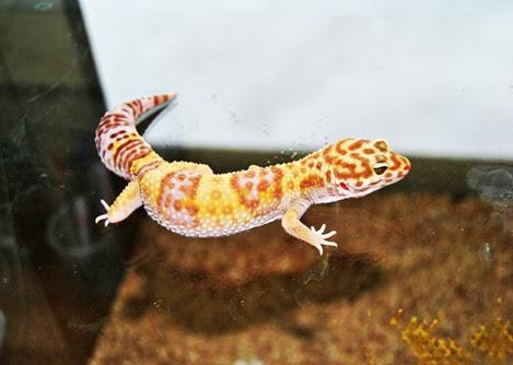 Amazing Pictures of Animals, Photo, Nature, Incredibel, Funny, Zoo, Eublepharis macularius, Leopard gecko, Alex (14)