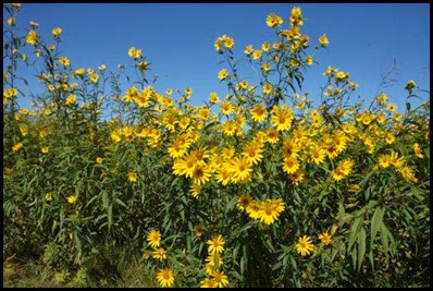 FallSunflowers