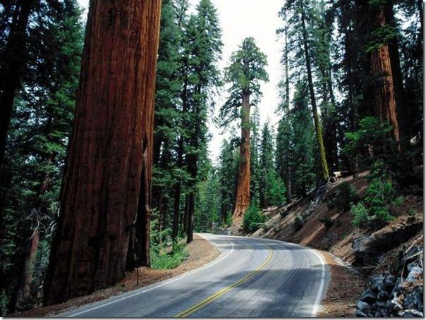 imagens das sequois do Parque Nacional Redwood (12)